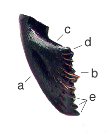 Hagensia havilandi mandible