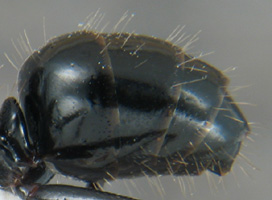 Gaster of Camponotus worker