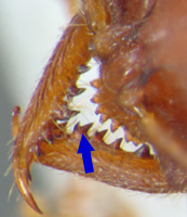 Detail of Stigmatomma mandibles