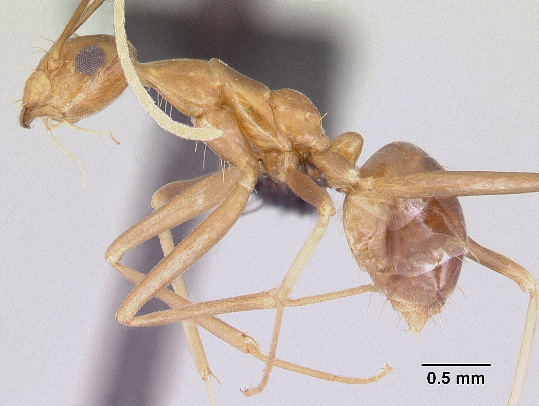 Photo of the yellow crazy ant by April Nobile. Their antennae are about as long as their bodies, with a scape that is twice the length of their heads. Used under CC BY-SA 3.0
