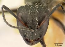 Camponotus descarpentriesi casent0101202 head 1.jpg