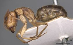 Camponotus discors casent0905226 p 1 high.jpg
