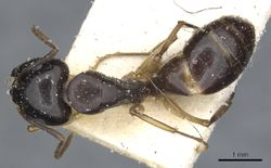 Camponotus orites casent0903506 d 1 high.jpg
