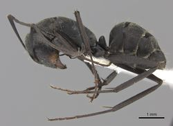 Camponotus cinctellus casent0170557 p 1 high.jpg