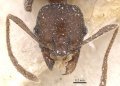 Pheidole excellens casent0913309 h 1 high.jpg