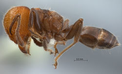 Crematogaster-tanakai-lateral-am-lg.jpg