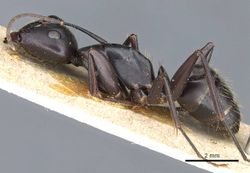 Camponotus cilicicus casent0905193 p 1 high.jpg