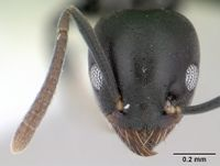Technomyrmex albipes casent0178469 head 1.jpg