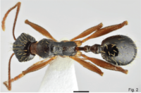 Fig. 2. Salata and Borowiec 2018, A. muschtaidica worker dorsal view.png