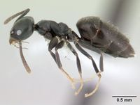 Technomyrmex albipes casent0178469 profile 1.jpg