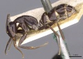 Camponotus picipes casent0910015 p 1 high.jpg