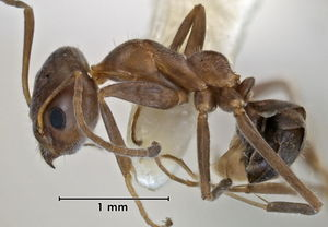Iridomyrmex curvifrons side view