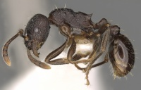 Myrmica williamsi P casent0900335.jpg