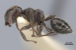 Crematogaster physothorax casent0217851 p 1 high.jpg