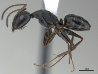 Camponotus compositor casent0217632 p 1 high.jpg