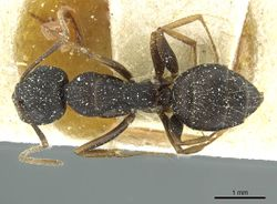 Camponotus jeanneli casent0911649 d 1 high.jpg