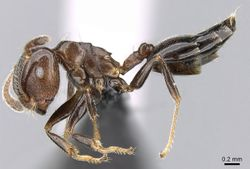 Crematogaster masokely casent0068954 p 1 high.jpg