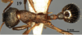 Fig. 19 Chen et al. 2016, myrmica huaii body in dorsal view.png