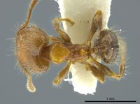 Pheidole caracalla jtlc000016339 d 1 high.jpg