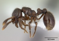 Adelomyrmex micans casent0600937 profile 1.jpg
