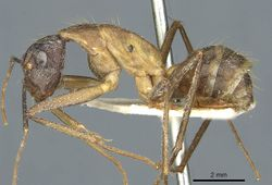 Camponotus coniceps casent0911933 p 1 high.jpg