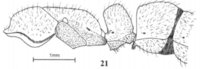 Fig. 21, Joma and Mackay 2017, B. pilosuperficia, worker, lateral view.png