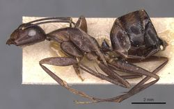 Camponotus donisthorpei casent0905245 p 1 high.jpg