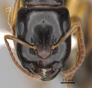 Camponotus lownei casent0280215 h 1 high.jpg