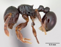 Pristomyrmex orbiceps casent0417737 profile 1.jpg