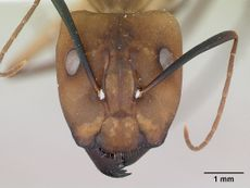 Camponotus coloratus casent0173405 head 1.jpg