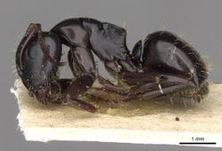 Camponotus abrahami casent0910439 p 1 high.jpg
