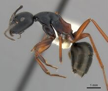 Camponotus chalceus casent0217623 p 1 high.jpg