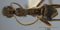 Leptomyrmex burwelli top view