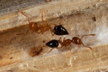 Acrobat Ant (Crematogaster sp.)