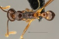 MCZ Pheidole minor cf nodifera had4.jpg