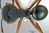 Polyrhachis achterbergi holotype top.jpg