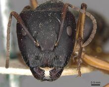 Camponotus oxleyi casent0910397 h 1 high.jpg