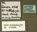Myrmecorhynchus emeryi ANIC32-010956 minor label CAS0172033-Antwiki.jpg
