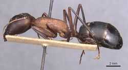 Camponotus caffer casent0905242 p 1 high.jpg