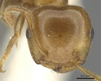 Crematogaster gambiensis casent0902057 h 1 high.jpg