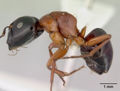 Camponotus armstrongi casent0172150 profile 1.jpg