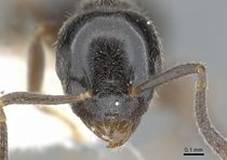 Technomyrmex mandibularis casent0903049 h 1 high.jpg