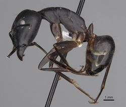 Camponotus empedocles casent0280286 p 1 high.jpg