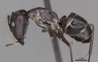 Camponotus xuthus casent0910393 p 1 high.jpg