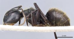 Camponotus chyrusurs securifer casent0905447 p 1 high.jpg