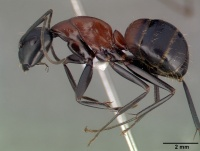 Camponotus obscuripes casent0008633 p 1 high.jpg