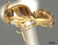 Camponotus woodroffeensis casent0915777 p 1 high.jpg
