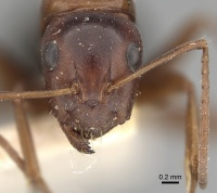 Camponotus vogti casent0249881 h 1 high.jpg