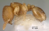 Carebara distincta casent0010802 profile 1.jpg