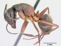Camponotus chromaiodes casent0104763 profile 1.jpg